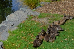 Queenstown Enten